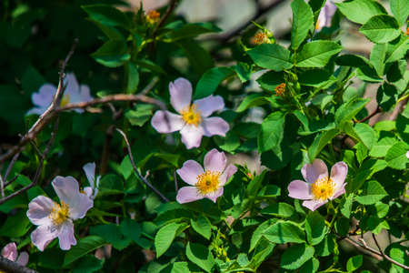Close-up of a dog rose, Rosa canina, with green leaves on a blurry background. 免版税图像