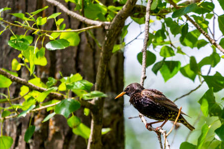 European starling on the branch in wild nature