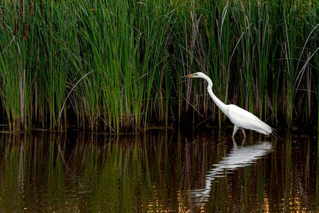 White heron on a pond. Wild life in nature