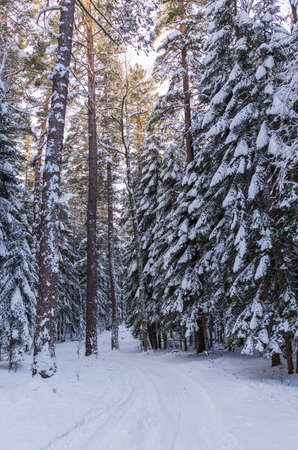 Snow covered trees in the winter forest with road.