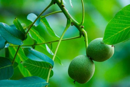 Walnuts on a tree. Closeup view of walnut.