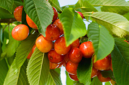 Red and sweet cherries on a branch in village garden just before harvest in early summer