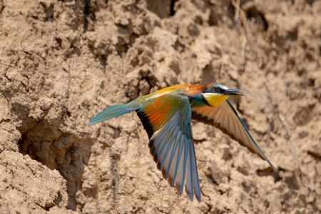 European bee-eater or Merops Apiaster in natural habitat.