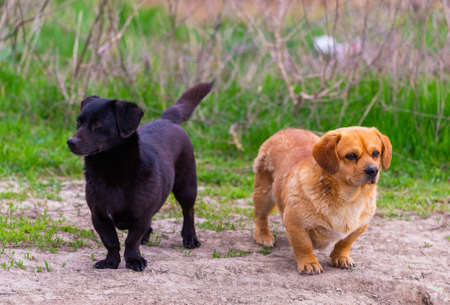 Two cute little black and brown mix breed dogs outside.