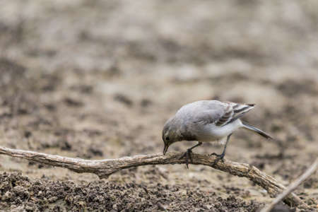 Young white wagtail, Motacilla alba, sitting on a branch near a river. Portrait of a young common songbird with long tail and black and white feather. Intimate portrait of a cute little bird.