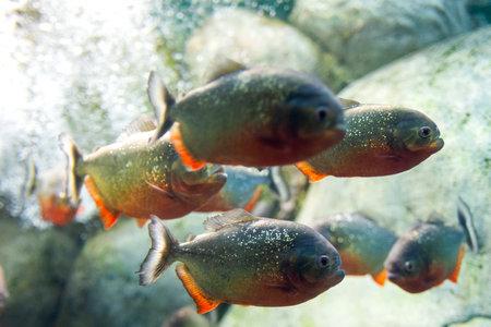 Closeup of a Red-Belly Piranha or Pygocentrus nattereri.