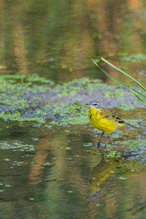 Yellow wagtail or Motacilla flava feldegg in wild nature