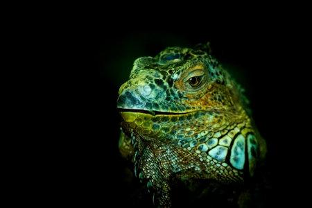 image of a iguana lizard captured in dark background.