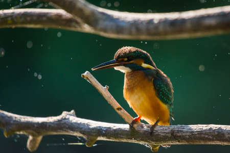 Common European Kingfisher or Alcedo atthis sits on a stick above the river and hunting for fish. This sparrow-sized bird has the typical short-tailed, large-headed kingfisher profile. Zdjęcie Seryjne