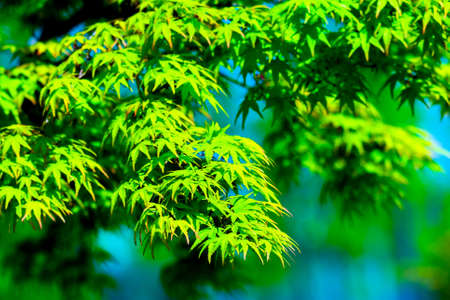 Acer palmatum or Palm-shaped maple budding in the spring. Leaves of tree on sunlight.