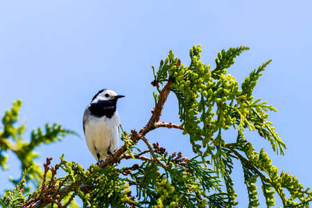 Motacilla alba. White Wagtail on a spring day on a branch of tree.