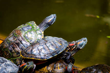 Group of red-eared slider or Trachemys scripta elegans in pool. Dozens of yellow-bellied slider turtles sunning on a wooden surface. Zdjęcie Seryjne
