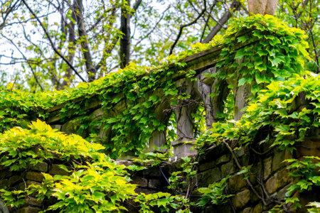 English Ivy or Hedera Helix is a clinging evergreen vine plant. Zdjęcie Seryjne