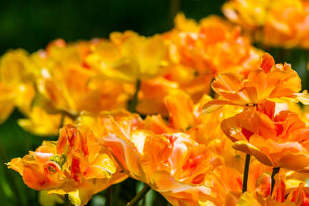 Yellow and red parrot tulips from a Dutch garden.