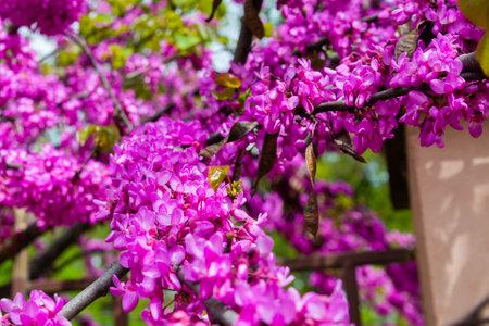 Close up of violet blossoming Cercis siliquastrum plant at Caucasus area.