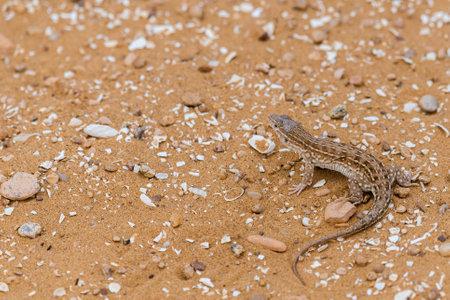 Steppe Runner Lizard or Eremias arguta on sand. Zdjęcie Seryjne