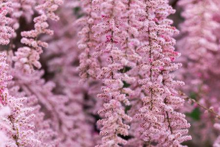 Beautiful blooming Smallflower Tamarisk tree or Tamarix parviflora with pink flowers. Zdjęcie Seryjne