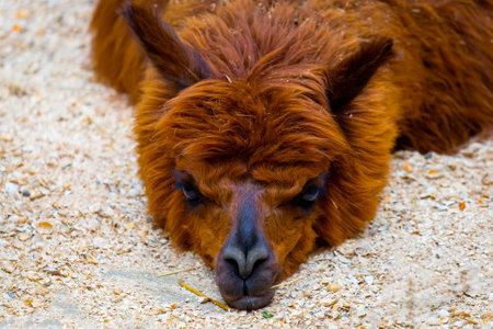 Brown fuzzy fur lama lies on the ground in a sunny day. Zdjęcie Seryjne