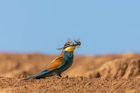 Golden bee-eater with prey. Hunt for dragonfly and other insects. Bright multi-colored bird on a ground. Merops apiaster. Zdjęcie Seryjne
