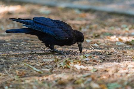 Rook bird or Corvus frugilegus on a ground.