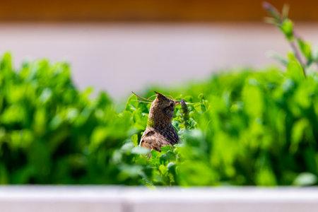 Crested Lark, Galerida cristata with a branch in its beak. Zdjęcie Seryjne