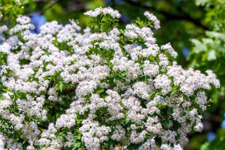 Macro of quickthorn or Crataegus monogyna white flower in springtime. Zdjęcie Seryjne