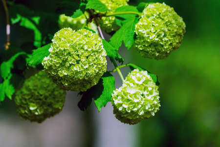 Closeup of green hydrangea or Hydrangea macrophylla are blooming in spring and summer at a town garden. The Japanese call this Ajisai flower Zdjęcie Seryjne