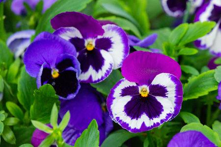 Flowers of garden pansies in purple and white color. Zdjęcie Seryjne