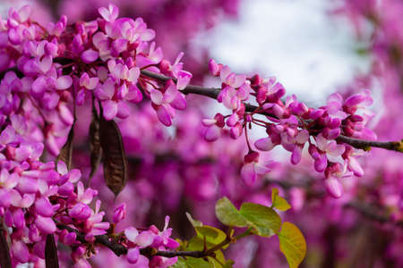 European Cercis, or Judas tree, or European scarlet. Close-up of pink flowers of Cercis siliquastrum. Cercis is a tree or shrub, a species of the genus Cercis of the legume family or Fabaceae. Zdjęcie Seryjne