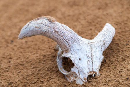 Spotted toad-headed Agama on a skull or bone.