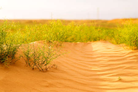 Desert plant. Camel thorn plant. Green bush in the desert. Green grass on dried ground. Desert soil. Desert landscape in summer.