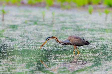 Purple heron or ardea purpurea is hunting in a pond or lake.