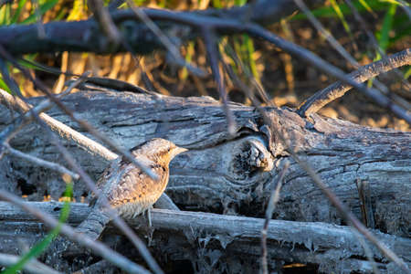 Eurasian wryneck or Jynx torquilla on branches.