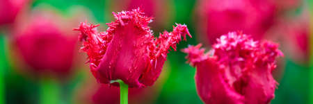 Terry red fringed Tulip in a garden on flower bed