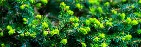 Branches of spruce or conifer background. Natural texture 免版税图像