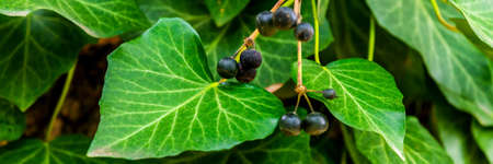 Berries or fruits of Ivy or Hedera helix.