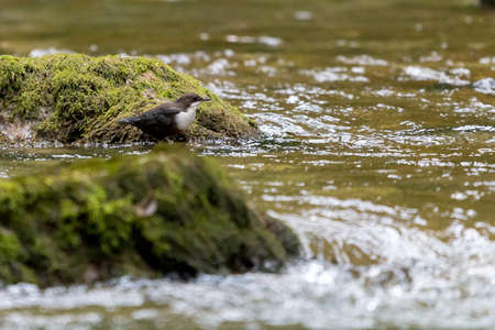 White-throated dipper or Cinclus cinclus on a mountain river.