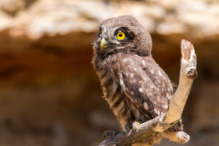 Little owl or Athene noctua on wooden branch. 免版税图像