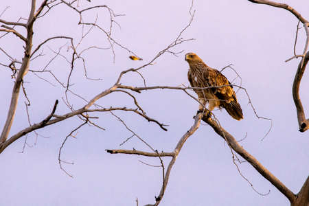Steppe eagle on the branches of a dry tree. Bird of prey in the wild. Steppe eagle against the blue sky.