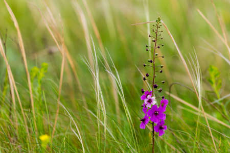 Verbascum phoeniceum flower, Purple mullein or temptress purple plant from family Scrophulariaceae growing on grassland.