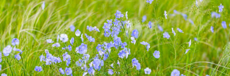 Bright delicate blue flower of ornamental flower of flax and its shoot against complex background. Flowers of decorative flax. Agricultural field of flax technical culture in stage of active flowering.
