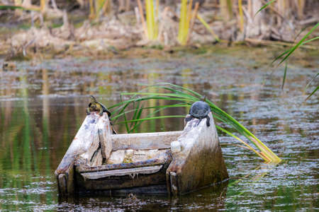 Two turtles lie on old armchair in a pond.