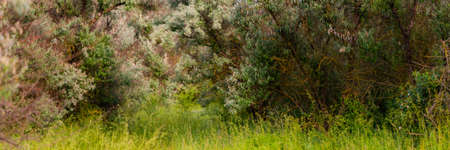 Loch silvery grove. Silverberry or Elaeagnus commutata bushes.