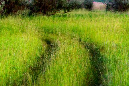 Car tracks of wheels on a fresh high grass in wild nature. Pioneer in travel. Zdjęcie Seryjne