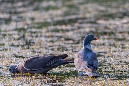 Wood pigeon, Columba palumbus, two bird in water of lake.