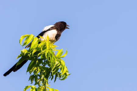 Eurasian magpie or common magpie or Pica pica looking down from branch lit by setting sun with blue sky in background.