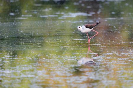 Black-winged Stilt feeding at eye level in natural pond.