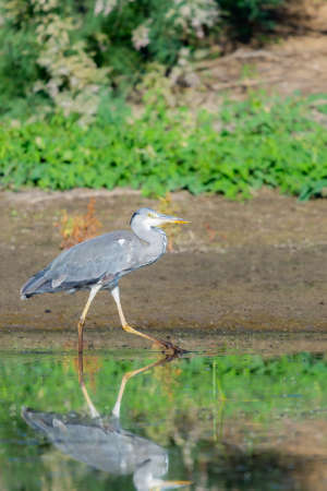 Gray heron or Ardea cinerea hunting in the pond