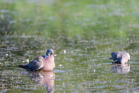 Wild Wood pigeon or Columba palumbus in water of pond.