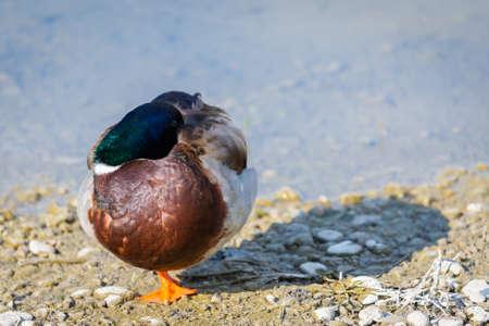 Mallard Ducks or Anas platyrhynchos in pond or lake.